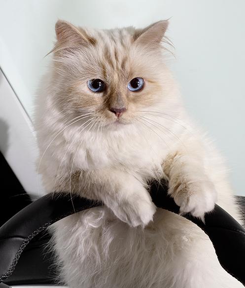 Choupette, la gatita influencer que inspira las nuevas gafas de Karl Lagerfeld