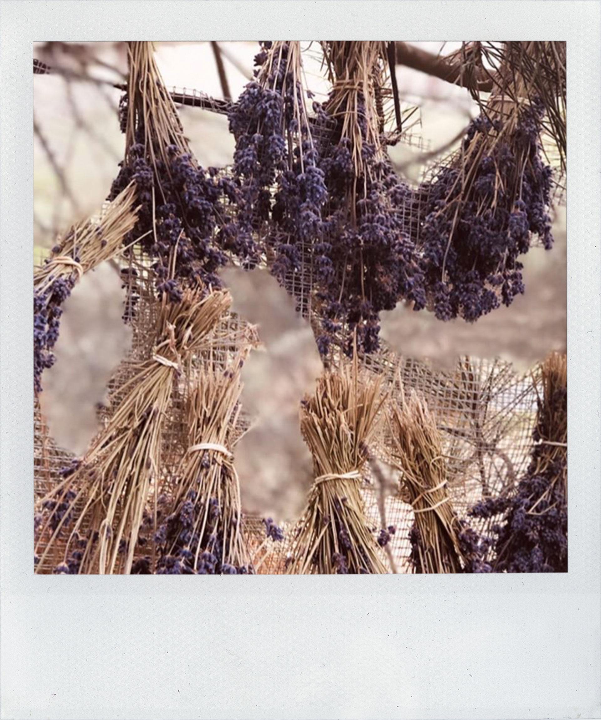 Kangaroo Island Emu Bay Lavender